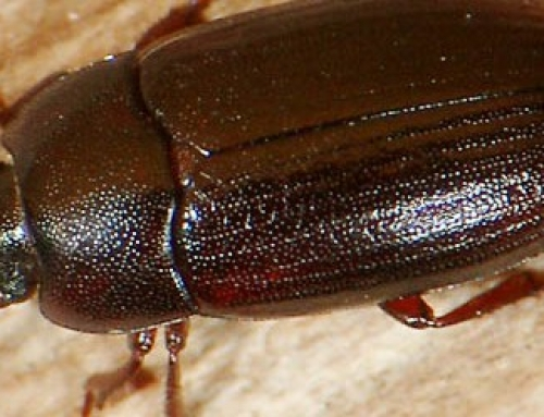 Facts About the Litter Beetle